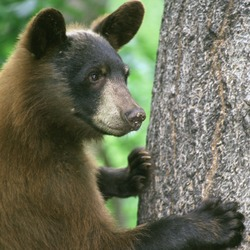 American Black Bear Standing by Tree