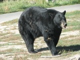 Black Bear Photo Gallery