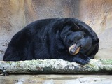 Black Bear American Cincinnati Zoo (2)