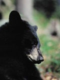 Black Bear American portrait close up