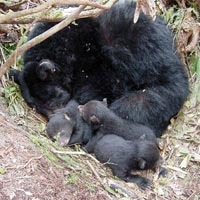 Black Bear Bear mother cubs hibernating