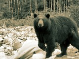 Black Bear Big Ursus americanus