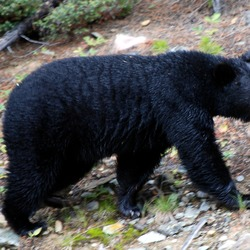 The Black Bear of Lake Louise