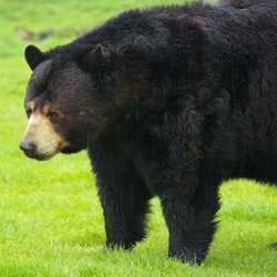 Black bears can be seen roaming around, often just a few feet from your car, at Woburn Safari Park. As well as the animals on the safari reserve, there are also sea lions, penguins, and the Australian Walkabout area, complete with wallabies and emus. (U.S. Air Force photo by Karen Abeyasekere)