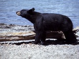 Black Bear YellowstoneUrsus americanus