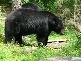Black Bear big Ursus americanus (2)