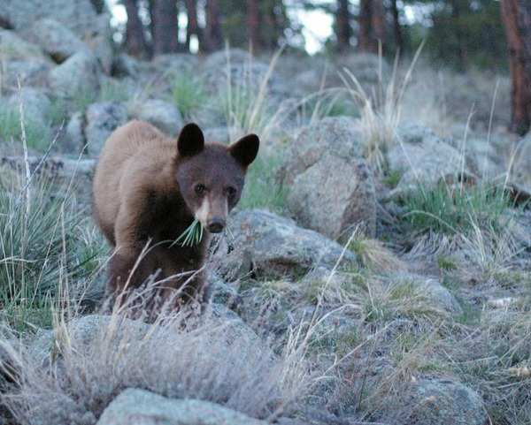 Black Bear boulder colorado cub