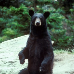 Black Bear large Ursus americanus