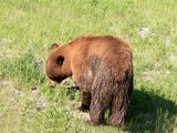 Black Bear yellowstone brown fur