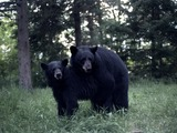 Black Bears mating Ursus americanus
