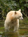 White Black Bear Spirit bear
