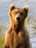 Brown Bear Alaskan closeup
