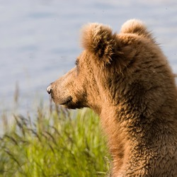 Brown Bear Alaskan faceprofile