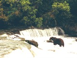 Brown Bear Brooks Falls Katmai
