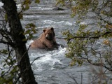 Brown Bear Brown_Bear_Katmai_National_Park