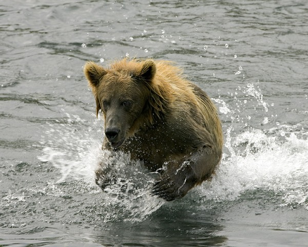 Brown Bear Brown_Bear_in_Stream