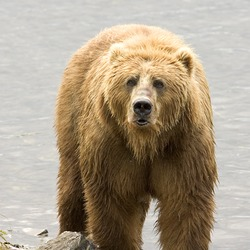 Brown Bear Brown_Bear_us_fish