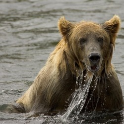 Brown Bear Brown_bear_fishing,_Kodiak_NWR