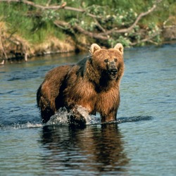 Brown Bear Brown_bear_in_creek
