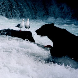 Brown Bear Brown_bear_seaguls