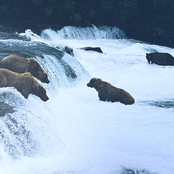 Brown Bear Brown_bears_brooks_falls