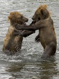 Brown Bear Cubs Playing Ursus arctos