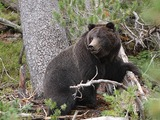 Brown Bear Female_Black_Grizzly_Bear_(Ursus_arctos_horribilis)