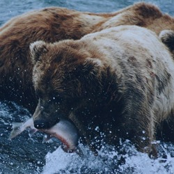 Brown Bear Fishing Grizzly salmon