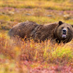 Brown Bear Grizzly Denali Ursus arctos