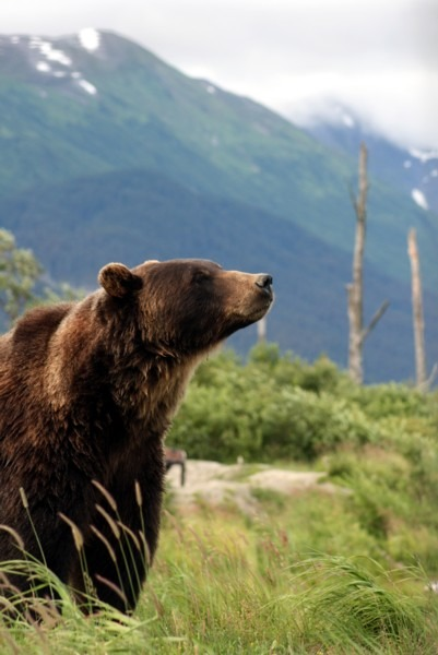 Brown Bear Grizzly Oso Alaska