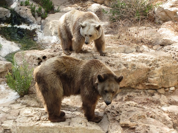 Brown Bear Grizzly Ursus arctos (2)