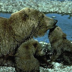 Brown Bear Grizzly Ursus arctos (3)