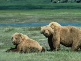 Brown Bear Grizzly Ursus arctos (4)