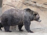 Brown Bear Grizzly Ursus arctos (5)