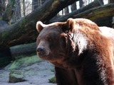 Brown Bear Grizzly Ursus arctos (6)