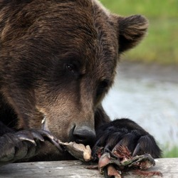 Brown Bear Grizzly Ursus arctos Alaska