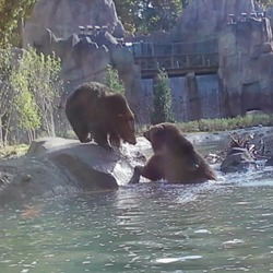 Brown Bear Grizzly cubs playing