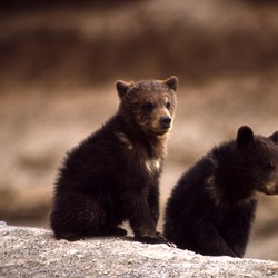 Brown Bear Grizzly cubs