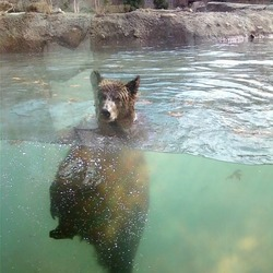 Brown Bear Grizzly memphis zoo swimming