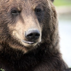Brown Bear Grizzly_Bear_Alaska