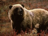 Brown Bear Grizzlybear55