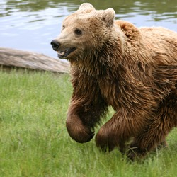 Brown Bear Kodiak(Ursus_arctos_arctos) running