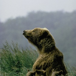 Female Brown Bear with Three Cubs