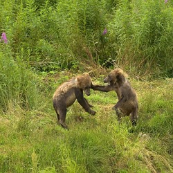 Brown Bear Kodiak_Bear_cubs_playing