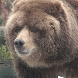Brown Bear Kodiak_Bear