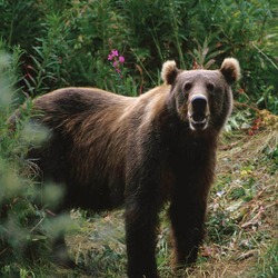 Brown Bear Kodiak_Brown_Bear