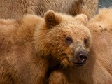 Brown Bear Kodiak_bear_cub_and_mother_in_Kenai,_Alaska