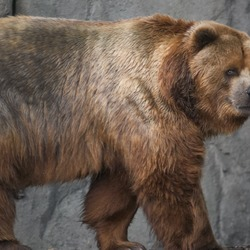 Brown Bear Kodiak_bear_in_germany