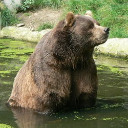 Brown Bear Kodiak_bear_ursus