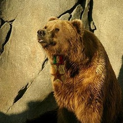 Brown Bear Oso Italian